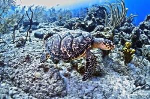 This turtle is on the move across the reef after being st... by Steven Anderson 